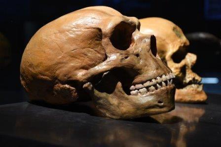 Череп неандертальца в сравнении с человеческим© Petr Student / Shutterstock