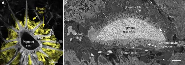 Пигментная капсула (вид сверху и вид в разрезе) вместе с лежащими под ней клетками (показаны желтым на левом изображении)© Roger T. Hanlon & Leila F. Deravi et al. / Nature Communications