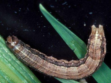 Гусеница кукурузной листовой совки© Frank Peairs, Colorado State University