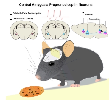 Схематическое изображение разницы в работе мозга при приеме разной пищи ©Neuron