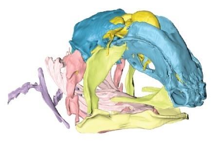 Трехмерная реконструкция черепа эмбриона Latimeria chalumnae, вид спереди и сбоку. Желтым изображен головной мозг.© Dutel et al.