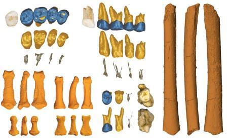 Останки H. luzonensis из пещеры Каллао