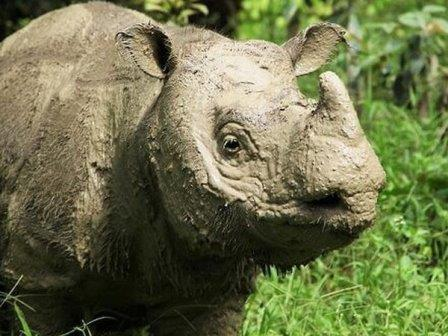 Носорог Там© Borneo Rhino Alliance (BORA)