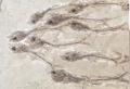 Erismatopterus levatus