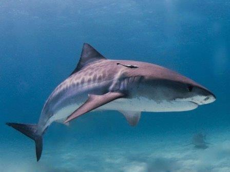 Тигровая акула© Albert kok/Wikimedia Commons
