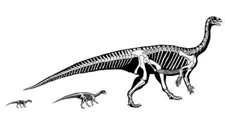 По мере роста Mussaurus patagonicus его центр масс смещался к хвосту, и динозавр поднимался с четырех лап на две © Otero et al., 2019