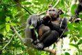 Шимпанзе лакомится черепахой, которую он только что поймал и расколол о ствол дерева© Scientific Reports