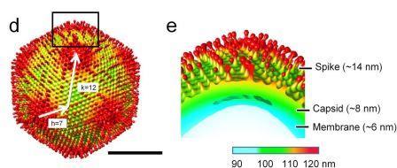 Трехмерная реконструкция частицы медузавируса© Genki Yoshikawa