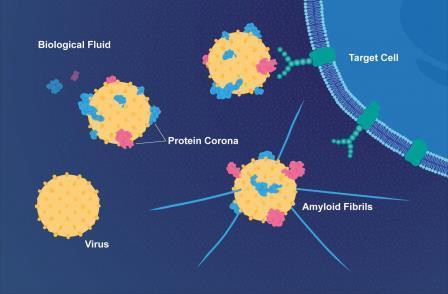 Схематическое изображение того, как бета-амилоид налипает на вирусную частицу герпеса© E. Wikander / Azote / Stockholm University