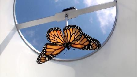 Бабочка в испытательной камере © Aye Tenger-Trolander