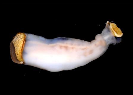 Корабельный червь Lithoredo abatanica, который живет на Филиппинах и бурит камень.Возможно, он даже питается им.©Marvin A. Altamia / Reuben Shipway