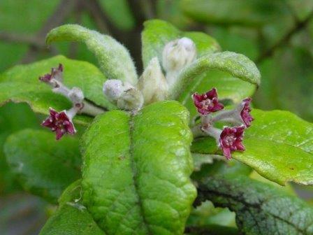 Nesiota elliptica. Последний экземпляр этого растения-эндемика острова Святой Елены погиб в 2003 году. Образец его ДНК хранится в Ботанических садах Кью © Kew Gardens