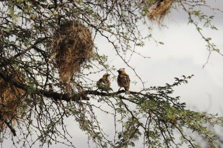 Пара P. mahali сидит на дереве под своим гнездом. Самец птицы справа был снабжен голосовым передатчиком на спине и нейронным передатчиком на голове.© Susanne Hoffmann