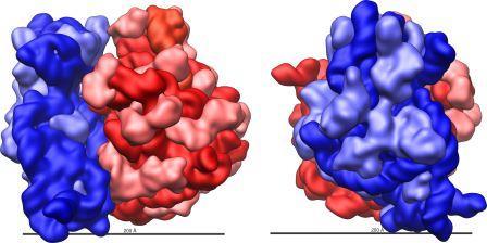 Модель рибосомыEscherichia coli. Красным цветом выделена большая субьединица, синим— малая субьединица. Более светлым оттенком показаны рибосомные белки, более темным— рРН © ru.wikipedia