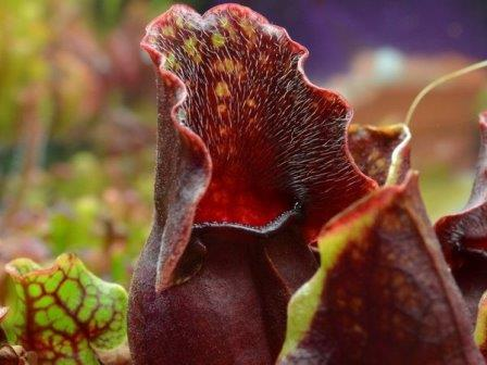 Саррацения пурпурная© Adam B./Flickr