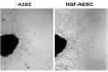 Микрофотография аксонов культуры нейронов дорсального корешкового ганглия при воздействии обычных МСК (слева) и генномодифицированных МСК (справа)© International Journal of Molecular Sciences