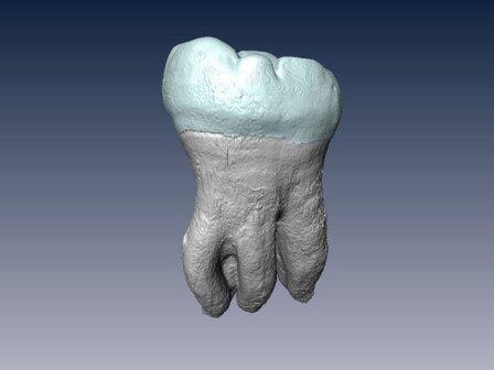 3D-модель зуба денисовца из Байшия© Max Planck Institute