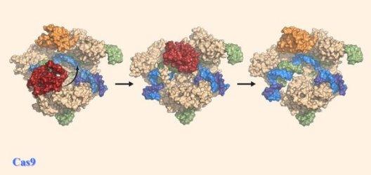 Изображение, иллюстрирующее, как белок Cas9 перестраивает себя (обозначено стрелкой) для резки© Zhuet al.