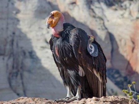 Коднор в национальном парке Зайон© Zion National Park