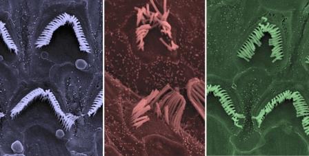 Слева направо: нормальные волосковые клетки, необработанные волосковые клетки мышей Бетховена, обработанные волосковые клетки мышей Бетховена© Carl Nist-Lund and Jeffrey Holt