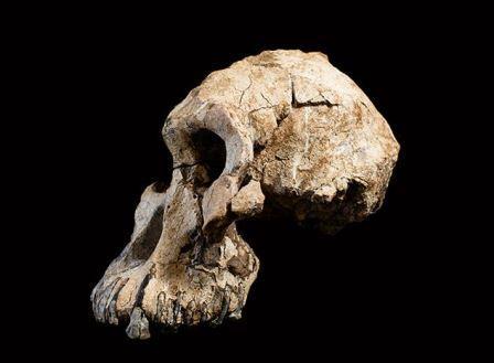 Почти полный череп видаAustralopithecus anamensis  обнаруженный в 2016 году в Эфиопии© Dale Omori/Cleveland Museum of Natural History
