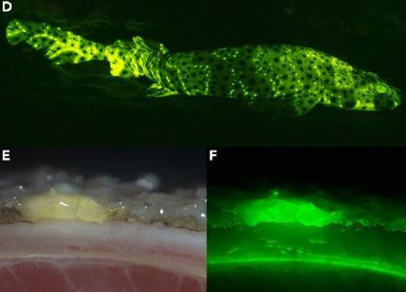 Флуоресценция среза кожи акулы Cephaloscyllium ventriosum, облученной синим светом© Hyun Bong Park et al / iScience 2019