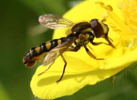 Самец мухи-журчалки Sphaerophoria rueppellii© Sandy Rae / Wikimedia Commons