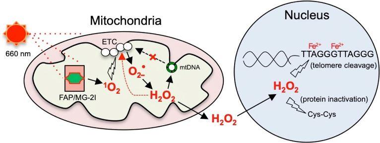 Рабочая модель того, как митохондриально генерируемая перекись водорода вызывает повреждение теломер