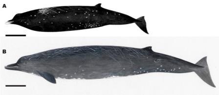 Сравнение Berardius minimus (вверху) и Berardius bairdii (внизу) ©Yamada et al., 2019