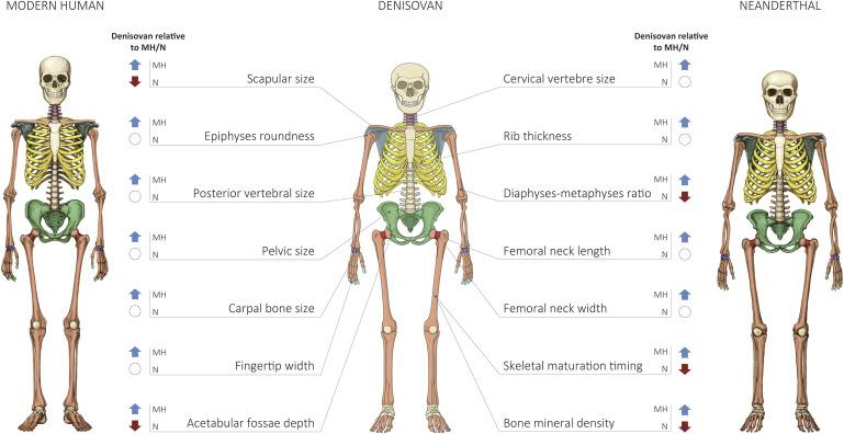 Реконструкция скелета Денисовца