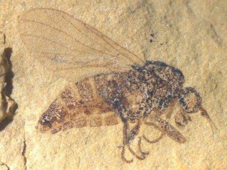 Муха-толкунчик (семейство Empididae) из нижнемелового местонахождения Хасуртый. Сборы 2019 г. © ПИН РАН