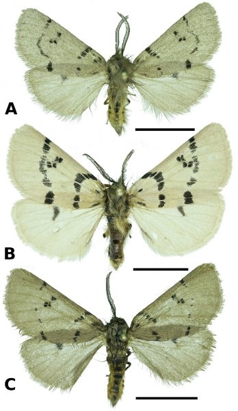 Eudiaphora