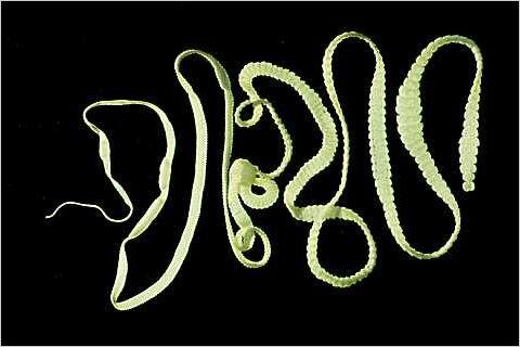 Hymenolepis diminuta © Tolan, Robert Jr.