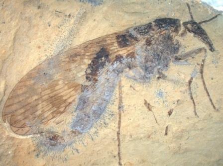 Скорпионница с длинным рострумом (семейство Orthophlebiidae) из нижнемелового местонахождения Хасуртый. Сборы 2019 г. © ПИН РАН