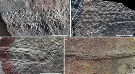 Окаменелости одних из самых древних подвижных и сегментированных билатерий, обнаруженные в Китае© Zhe Chen et al./Nature
