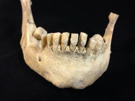 Древняя челюсть взятая для исследования из коллекции музея графства Дорсет © Dr. Sophy Charlton, University of York
