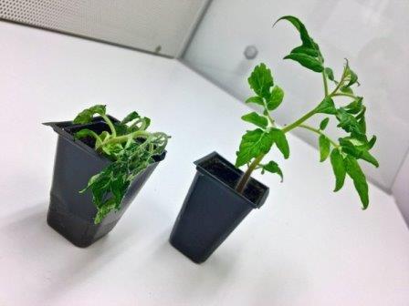 Зараженный Ralstonia solanacearum и здоровый саженцы томата © Ville Friman