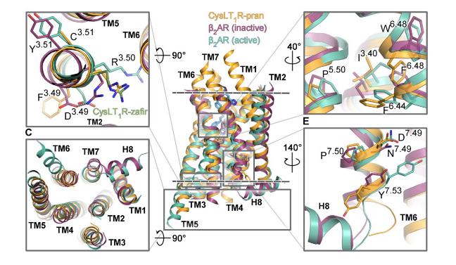 Участки CysLT1 (оранжевый), отвечающие за активацию рецептора, в сравнении с другими GPCR © Luginina et al./ Science Advances
