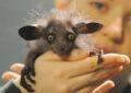 Мадагаскарская руконожка © AP Photo/ Barry Batchelor