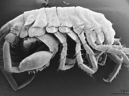 Podocerus jinbe © Species Diversity/Ko Tomikawa et al.