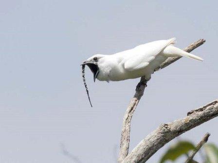 Самец белого звонаря © Anselmo d'Affonseca