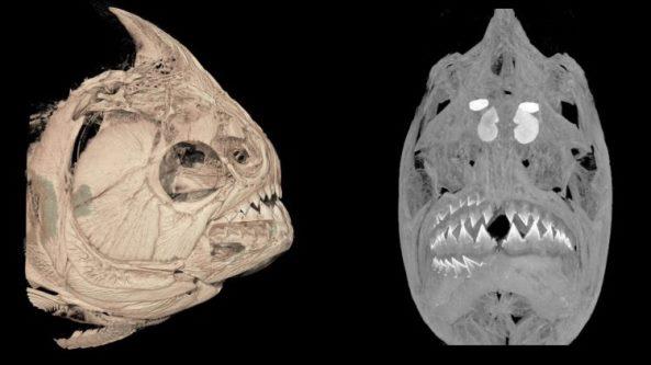 На КТ-сканированном изображении слева краснозобого пираньи (Pygocentrus nattereri