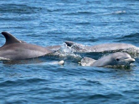 Дельфины в Потомаке © Potomac Conservancy