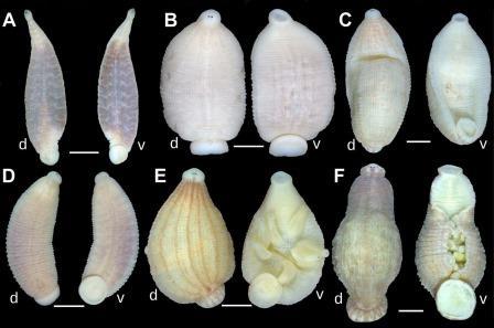 Дорсальная (d) и вентральная (v) стороны Batracobdelloides sp.(A-F) и Hemiclepsis sp. (G-L) © Anna L. Klass