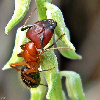 Camponotus floridanus © Bob Peterson