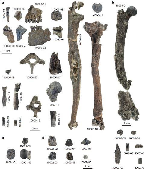 Останки четырёх особей Danuvius guggenmosi © Böhme M. et al./ Nature