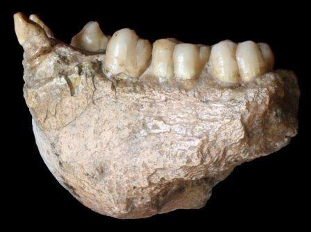 Челюсть Gigantopithecus blacki © Professor Wei Wang