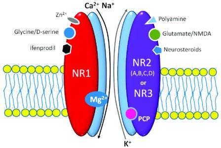 Схема работы NMDA-рецептора.