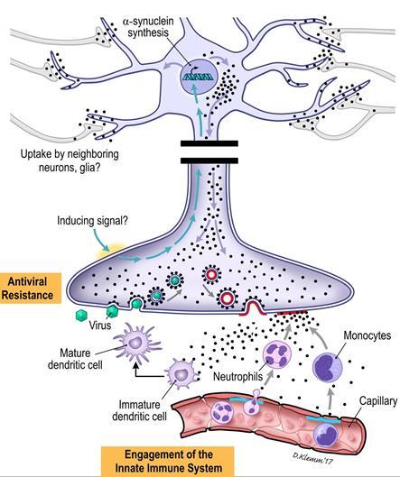 Предполагаемые иммунные функции альфа-синуклеина © University of Groningen - The Netherlands