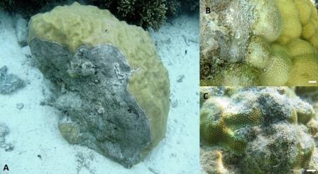 Проявления серой пятнистости на кораллах © Michael Sweet et al./ Microbiome